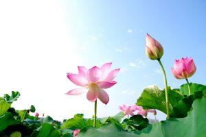 lotus-flowers-011